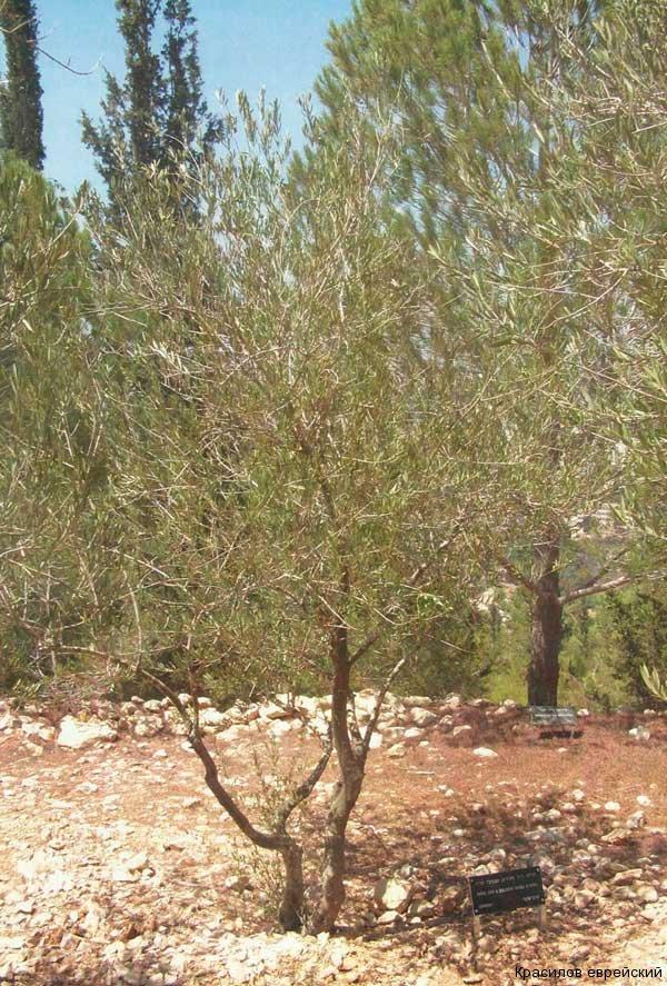 Дерево посаженное в Израиле в честь семьи ЖИР (Аллея Праведников, Яд Вашем, Иерусалим)